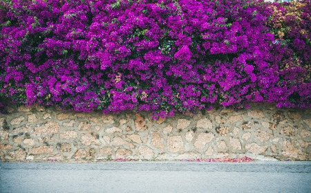 Stone wall covered with purple blooming Bougainvillea tree flowers. Typical Mediterranian outdoor street exterior in summer Stockfoto