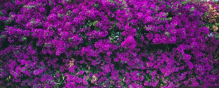 Purple blooming Bougainvillea tree flowers. Typical Mediterranian outdoor street exterior in summer