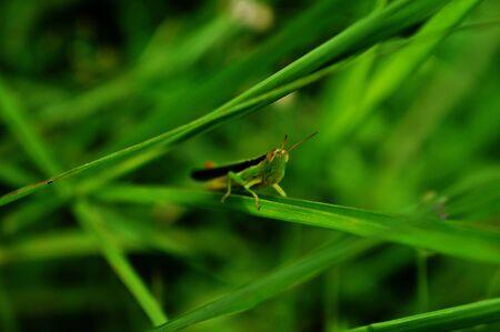 small grasshopper on a small grass