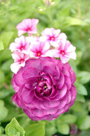 Purple Persian Buttercup (bloomingdale purple) Stock Photo - 3865558