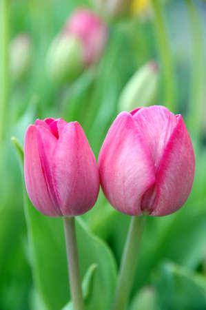 couple of pink tulips Reklamní fotografie