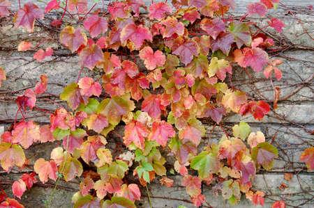 ivy wall: foliage ivy on wall