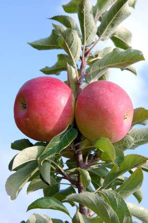 apple fruit on tree Stok Fotoğraf