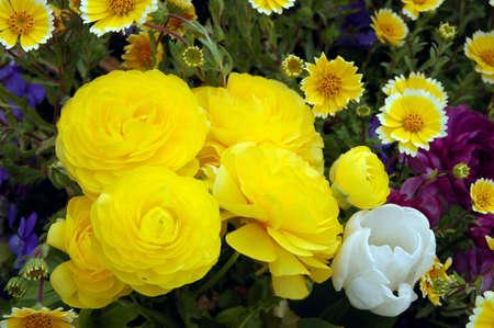 Yellow Persian Buttercup  bloomingdale yellow  Stok Fotoğraf