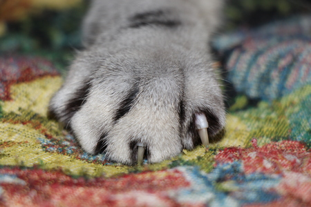 Fluffy cats claw with released claws