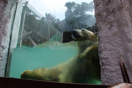 A polar bear swims in the pool at the zoo