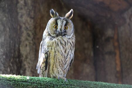 Screech-owl in aviary