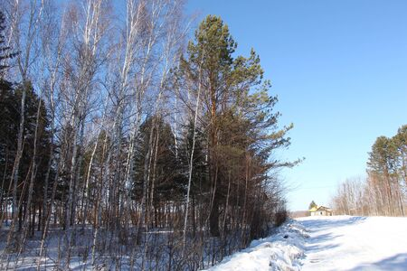 Pines in a birch grove  Trees against a blue sky  Spring road in a birch forest  Winter road past a forest