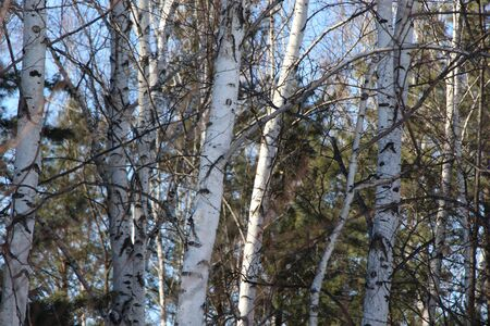 Pines in a birch grove  Trees against a blue sky  Spring landscape in a birch forest  Banco de Imagens