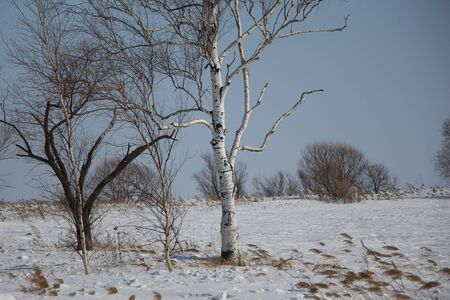 Birches on the background of a snow-covered field  A clear winter day in the field  Winter landscape