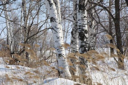 Birch Grove / Birches in the snow / Spring plants in the birch forest / Dry plants in the snow on the background of birches