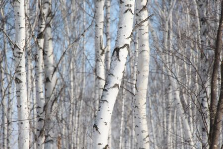 Birch Grove  Trunks of birches against the sky  Spring landscape in a birch forest