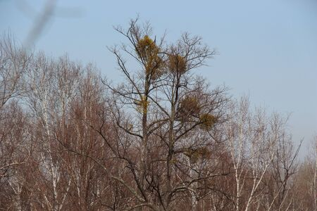 Crowns of trees against the blue sky  Spring landscape of trees with mistletoe  Spring in the taiga
