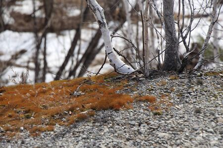 Spring landscape / Birches on stones / Moss on stones