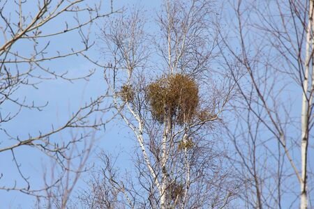 Spring landscape  Crowns of birches with mistletoe against the blue sky  Beauty in nature Banco de Imagens