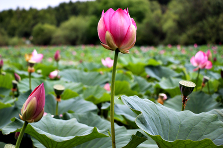Lake of lotuses in the Far East taiga  Pink flowers with large green leaves  Beauty of the Far Eastern nature
