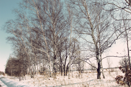 Bare trees in the snow  Rural winter landscape  Birches in the snowy field