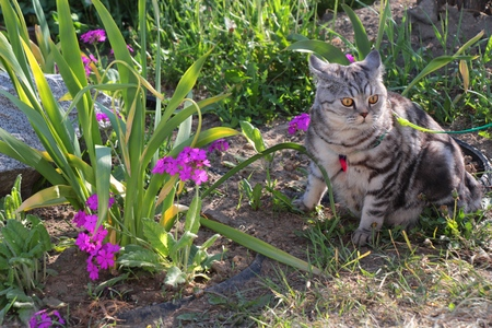 Striped cat in a flower bed with bright flowers  Home cat in a flower garden