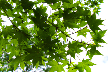 Maple leaves against the sky  Background image  Banco de Imagens