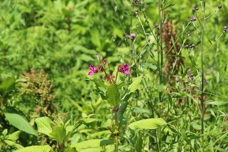 Bordeaux flower in the meadow / Wild meadow on a meadow / Wildflowers / Insects in flowers on a meadow Фото со стока