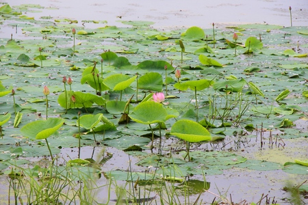 Flowering of lotuses on a pond  Lake with lotuses and water lilies  Pink lotuses on the water