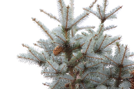 Top of the blue spruce with cones on a white background  Blue spruce closeup
