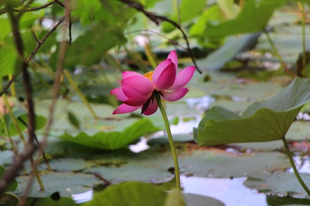 Blossoming lotuses  Lotus Lake  Lotus flower on a background of green leaves Banco de Imagens
