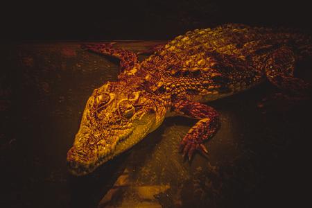 Nile crocodile at the age of seven.