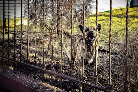 Barking dog of a shepherd behind a forged fence