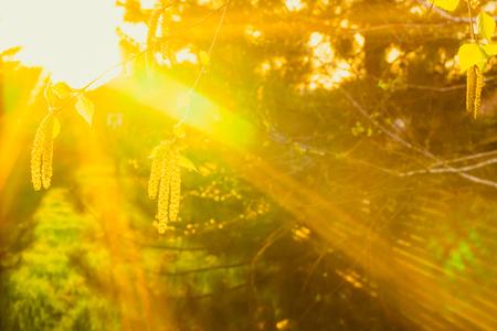 Sunset rays of the sun illuminate the birch branches.