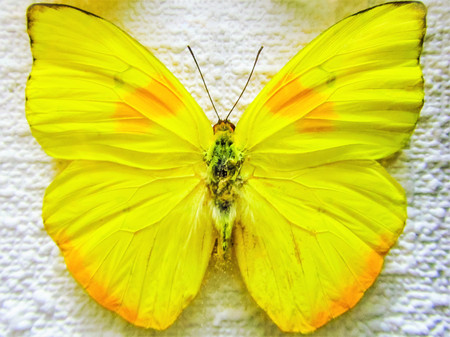 Orange-barred Sulphur. Phoebis philea