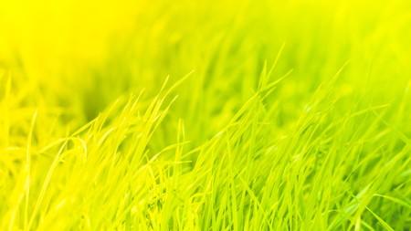 Green grass natural background texture, Standard-Bild - 111466346