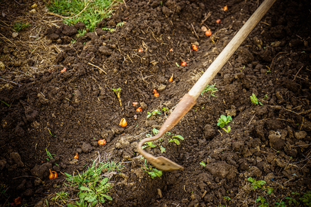 Planting onions in the spring garden with chopper tool.