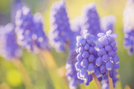 Small blue flower grape hyacinth grow on spring field.