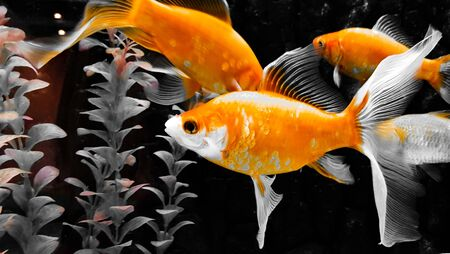 Gold fishes swimming in aquarium close up. Standard-Bild