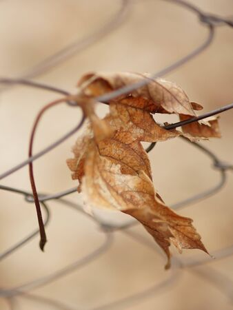 Old dry maple leaf in mesh fence, art selective focus, autumn mood