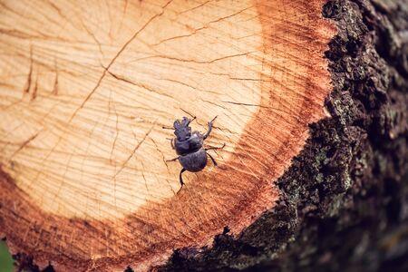 black rhinoceros beetle sits on a tree cut Stock Photo