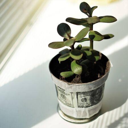 money tree flower in a pot on the windowsill