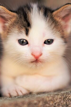 White with brown spots small baby kitten portrait, cute kitty closeup face