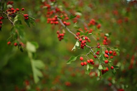 branches with red berries and green leaves of hawthorn