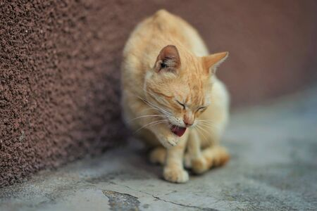 pale red cat sits on a stone floor and cleans a paw, close-up portrait. 스톡 콘텐츠 - 132084659