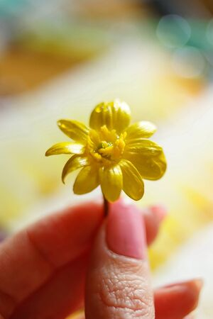 small yellow flower with drops on the petals in female fingers, macro photo, selective focus