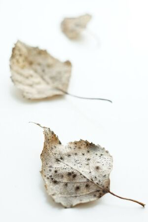 Three dry birch leaves on a white surface. Selective focus, macro shot. Stock Photo