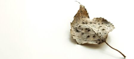 Dry brown birch leaf on a white surface, selective focus, macro photo Stock Photo