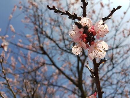 apricot flowering tree, a branch with small flowers close-up, blue sky and branches in the background. Stok Fotoğraf - 132084028