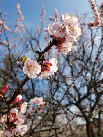 apricot tree flowering, a branch with small flowers close-up, blue sky and branches in the background.