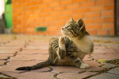 La pata del gatito atigrado se rasca detrás de la oreja, retrato al aire libre. Pulgas y garrapatas en animales domésticos