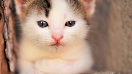White small baby kitten with brown spots, calm cute kitty closeup portrait