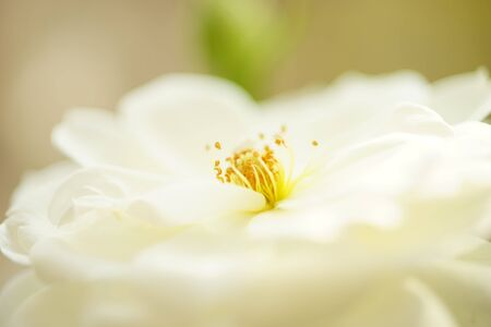 creamy white rose with stamen and petals, macro photo