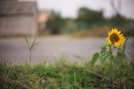 Yellow sunflower grows by the road in the village. Blurred.